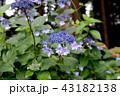 アジサイ ガクアジサイ 花の写真 43182138