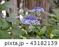 アジサイ ガクアジサイ 花の写真 43182139