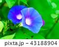 花 植物 咲くの写真 43188904