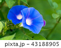 花 植物 咲くの写真 43188905
