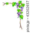葡萄 ぶどう フレームのイラスト 43202657