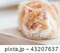 ねこ ネコ 猫の写真 43207637