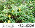 パンジー 花 黄色の写真 43216226