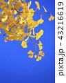 銀杏 秋 コピースペースの写真 43216619
