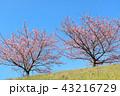 河津桜 桜 土手の写真 43216729
