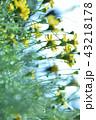 黄色い花 43218178