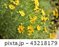 黄色い花 43218179