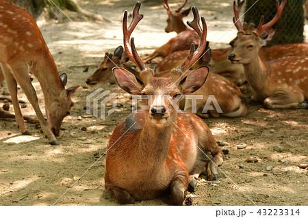 世界遺産・奈良公園 43223314