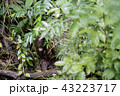 野生の子供オランウータン 43223717