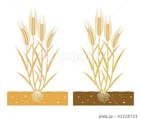 wheat plantのイラスト素材 43226733 pixta