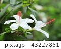 花 ハイビスカス ホワイトハイビスカスの写真 43227861