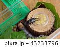 バナナを食べるコクワガタ 43233796