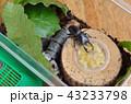 バナナを食べるコクワガタ 43233798