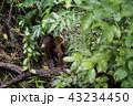 野生の子供オランウータン 43234450
