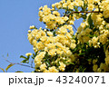 三鷹中原に咲く黄色いモッコウバラ 43240071