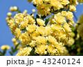 三鷹中原に咲く黄色いモッコウバラ 43240124