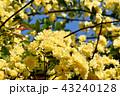 三鷹中原に咲く黄色いモッコウバラ 43240128