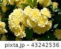 三鷹中原に咲く黄色いモッコウバラ 43242536