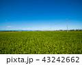 田園 風景 田んぼの写真 43242662