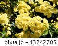 三鷹中原に咲く黄色いモッコウバラ 43242705