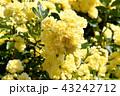 三鷹中原に咲く黄色いモッコウバラ 43242712