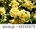 三鷹中原に咲く黄色いモッコウバラ 43243073