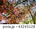 秋 紅葉 楓の写真 43243128