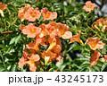 ノウゼンカズラ 凌霄花 花の写真 43245173