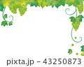 葡萄 マスカット シャインマスカットのイラスト 43250873