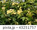 三鷹中原に咲く黄色いモッコウバラ 43251757