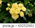 三鷹中原に咲く黄色いモッコウバラ 43252001
