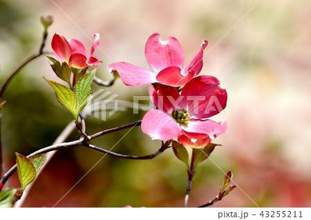 三鷹中原に咲くピンクのハナミズキ 43255211