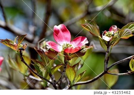 三鷹中原に咲くピンクのハナミズキ 43255462