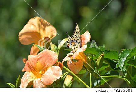 ノウゼンカズラの蜜を吸うアゲハチョウ 43255683