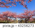 河津桜 桜 花の写真 43256273