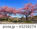 河津桜 桜 花の写真 43256274
