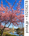 河津桜 桜 花の写真 43256278