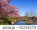 河津桜 桜 花の写真 43256279