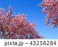 河津桜 桜 花の写真 43256284