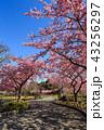 河津桜 桜 花の写真 43256297