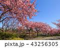 河津桜 桜 花の写真 43256305