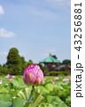 不忍池 花 蓮の写真 43256881
