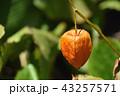 ホウズキ(鬼灯) 43257571