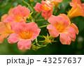 ノウゼンカズラ 花 植物の写真 43257637