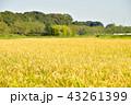 田んぼ 水田 稲作の写真 43261399