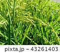 田んぼ 水田 稲作の写真 43261403