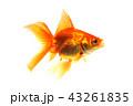 魚 金魚 琉金の写真 43261835
