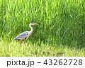 アオサギ サギ 水鳥の写真 43262728
