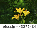 百合 花 植物の写真 43272484