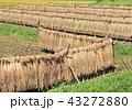 田んぼ 稲穂 稲作の写真 43272880